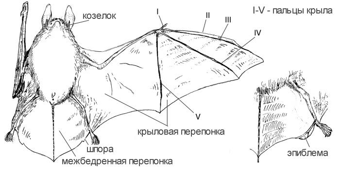 http://zmmu.msu.ru/bats/rusbats/pictures/batview.jpg
